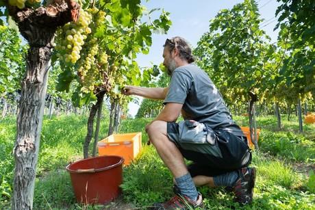 Mann bei der Weinlese, Reichenau