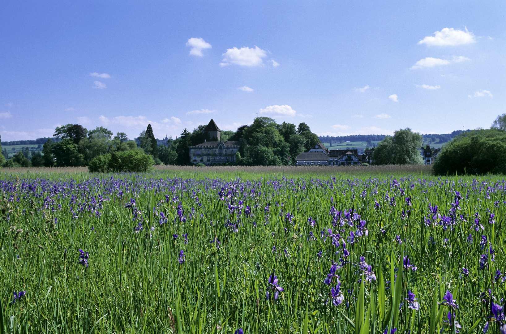 Irisblüte vor Gottlieben